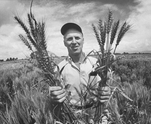 Real-Life Hero Norman Borlaug Wheat
