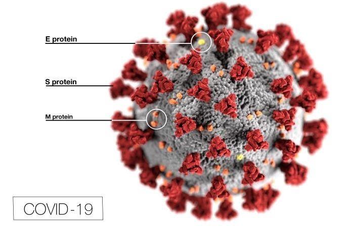 L'immagine evidenzia i componenti e le funzioni delle proteine del coronavirus